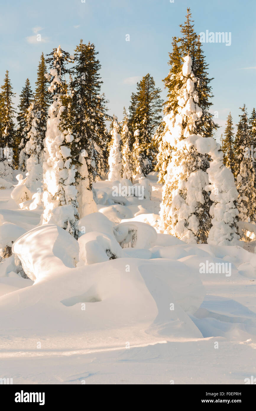 Snowy spruces and blue sky, Gällivare, Swedish lapland, Sweden Stock Photo