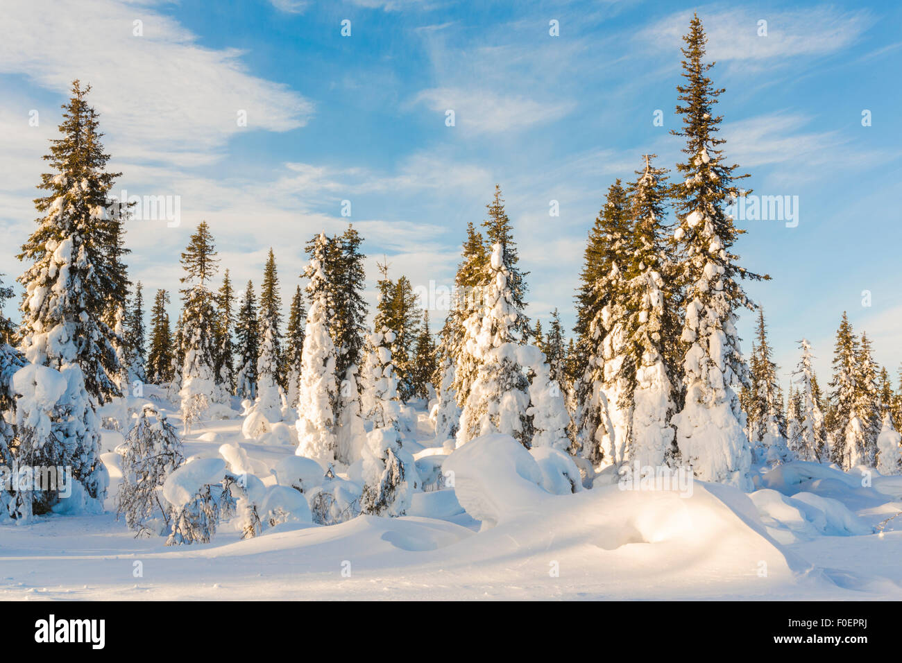 Snowy spruces and blue sky, Gällivare, Swedish lapland, Sweden Stock Photo