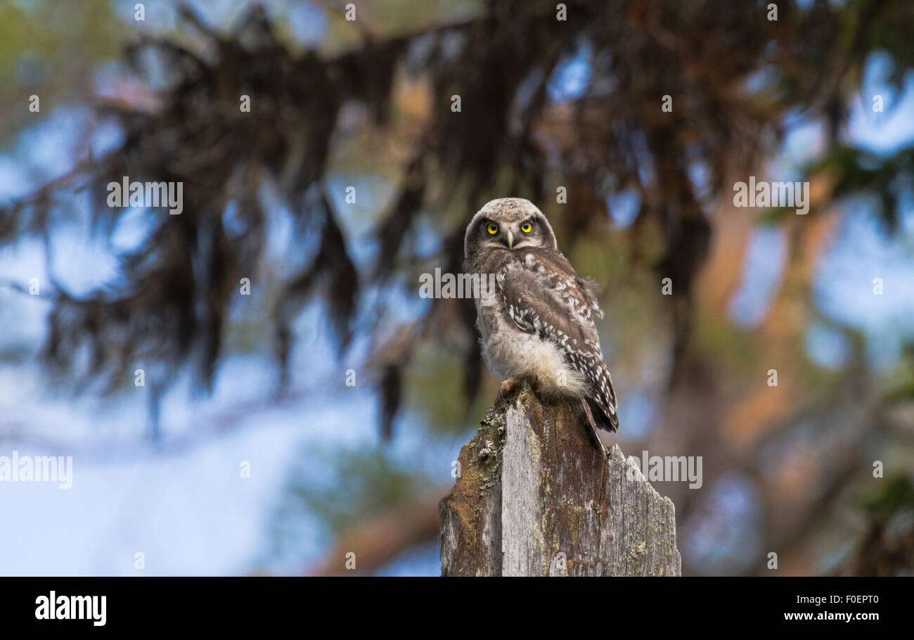 juvenile Northern hawk-owl, Surnia ulula, sitting on old tree trunk, looking in to camera and lichen hanging in - Stock Image