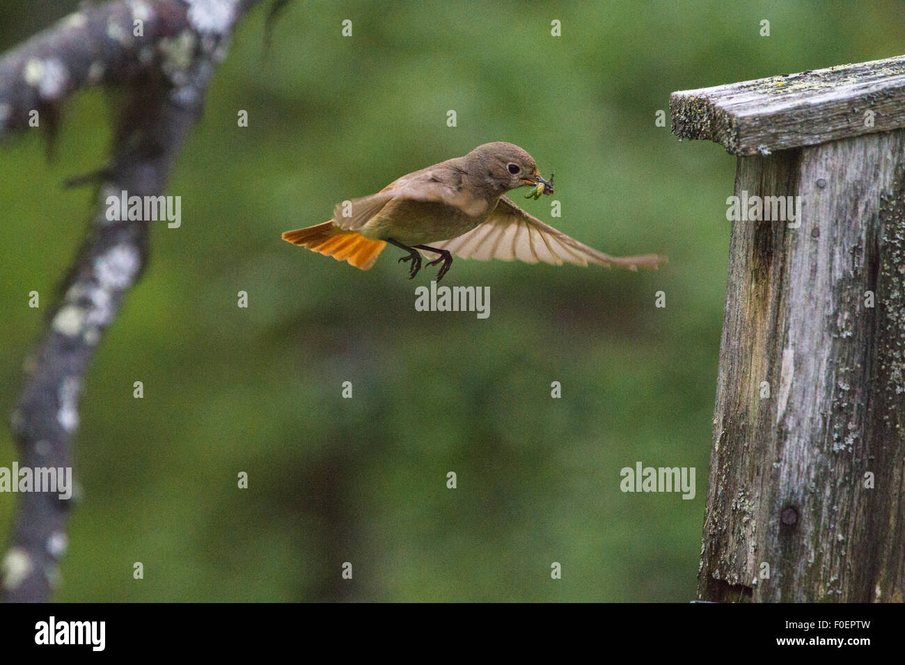 Common Redstart, Phoenicurus phoenicurus, coming with food in his beak to go in her birdhouse - Stock Image