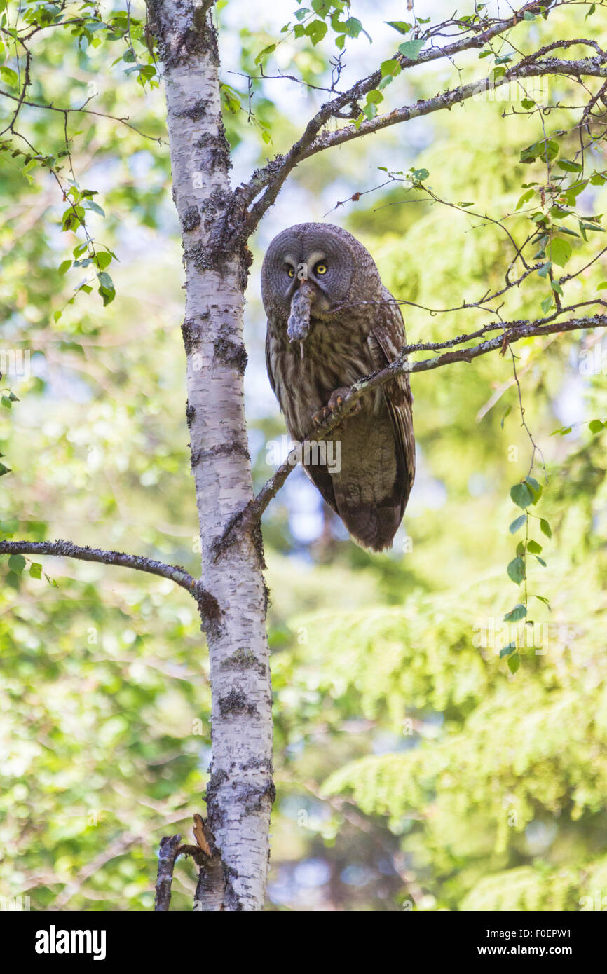 Great grey owl, Strix nebulosa lapponica, sitting in a birch with a vole in his beak - Stock Image