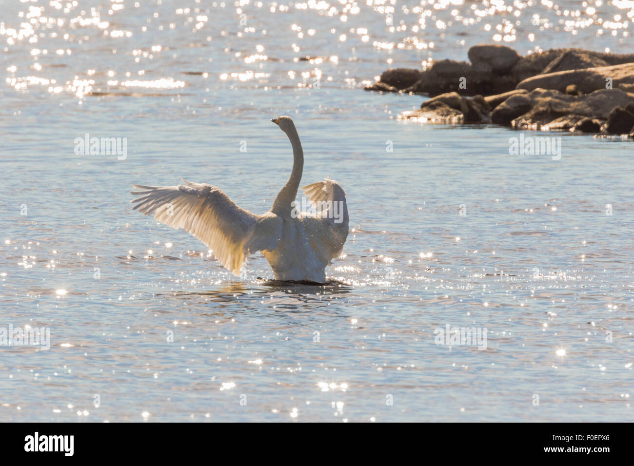 Whooper swan, Cygnus cygnus, standing up in the water and flapping his wings, bright sunshine making reflections Stock Photo