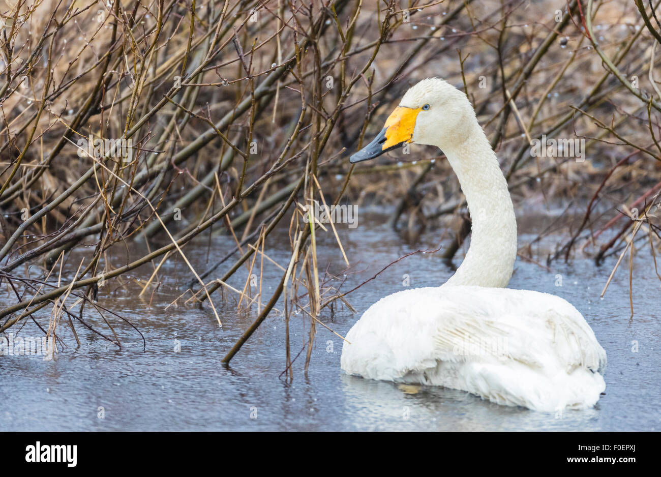 Whooper swan, Cygnus cygnus,  lying in water and turning towards camera, Gällivare, Swedish Lapland, Sweden Stock Photo