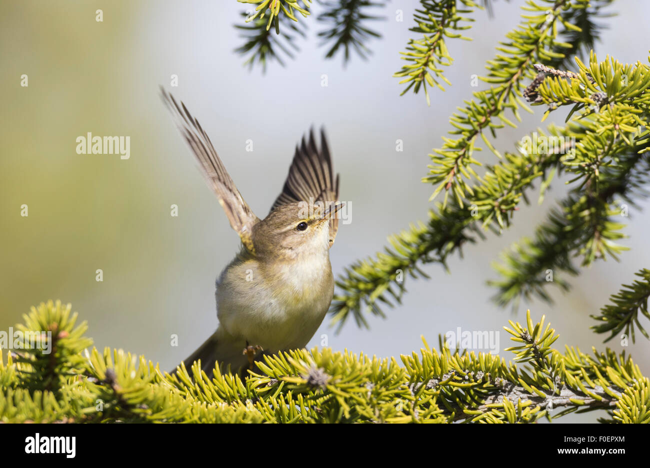 Willow warbler, Phylloscopus trochilus, sitting in a spruce and flaping wings, Gällivare, Swedish Lapland, - Stock Image