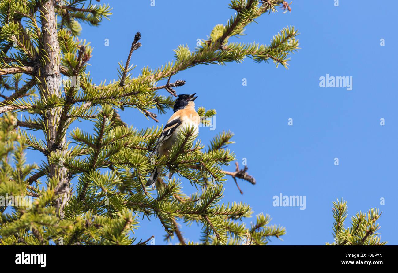 Brambling, Fringilla montifringilla, sitting in a spruce singing, Gällivare, Swedish Lapland, Sweden - Stock Image