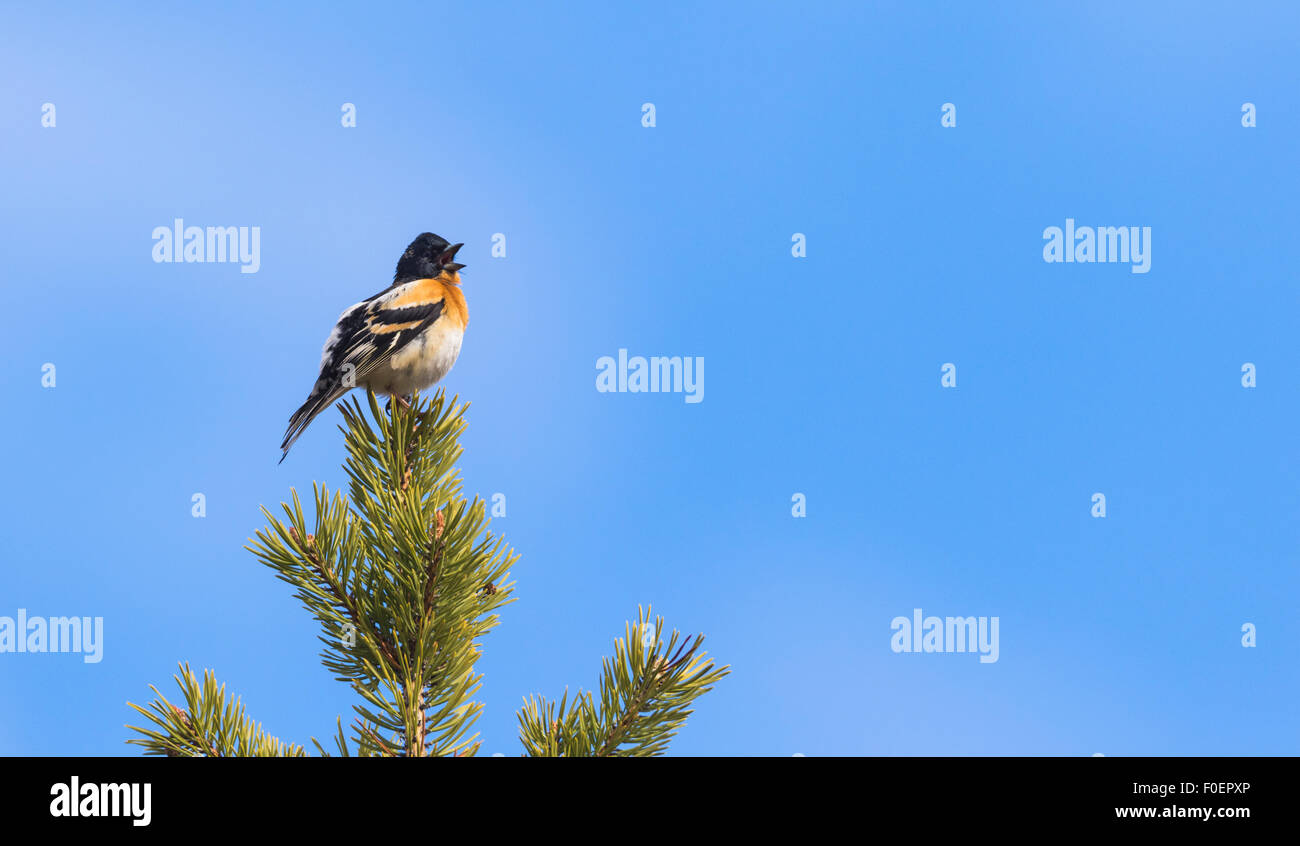 Brambling, Fringilla montifringilla, sitting in the top of a pine tree singing, Gällivare, Swedish Lapland, - Stock Image