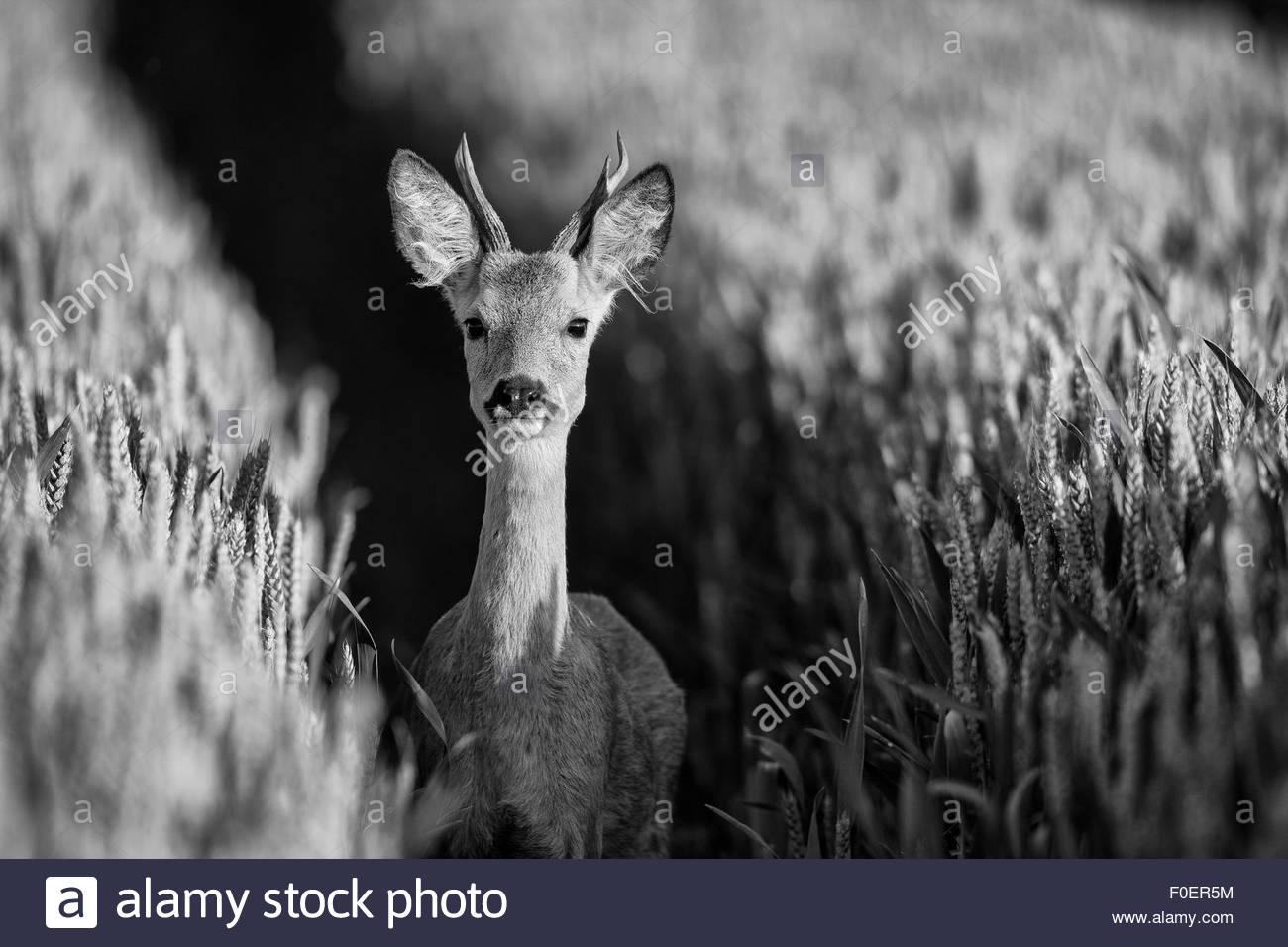 A Roe Deer Buck in Wheat field. - Stock Image