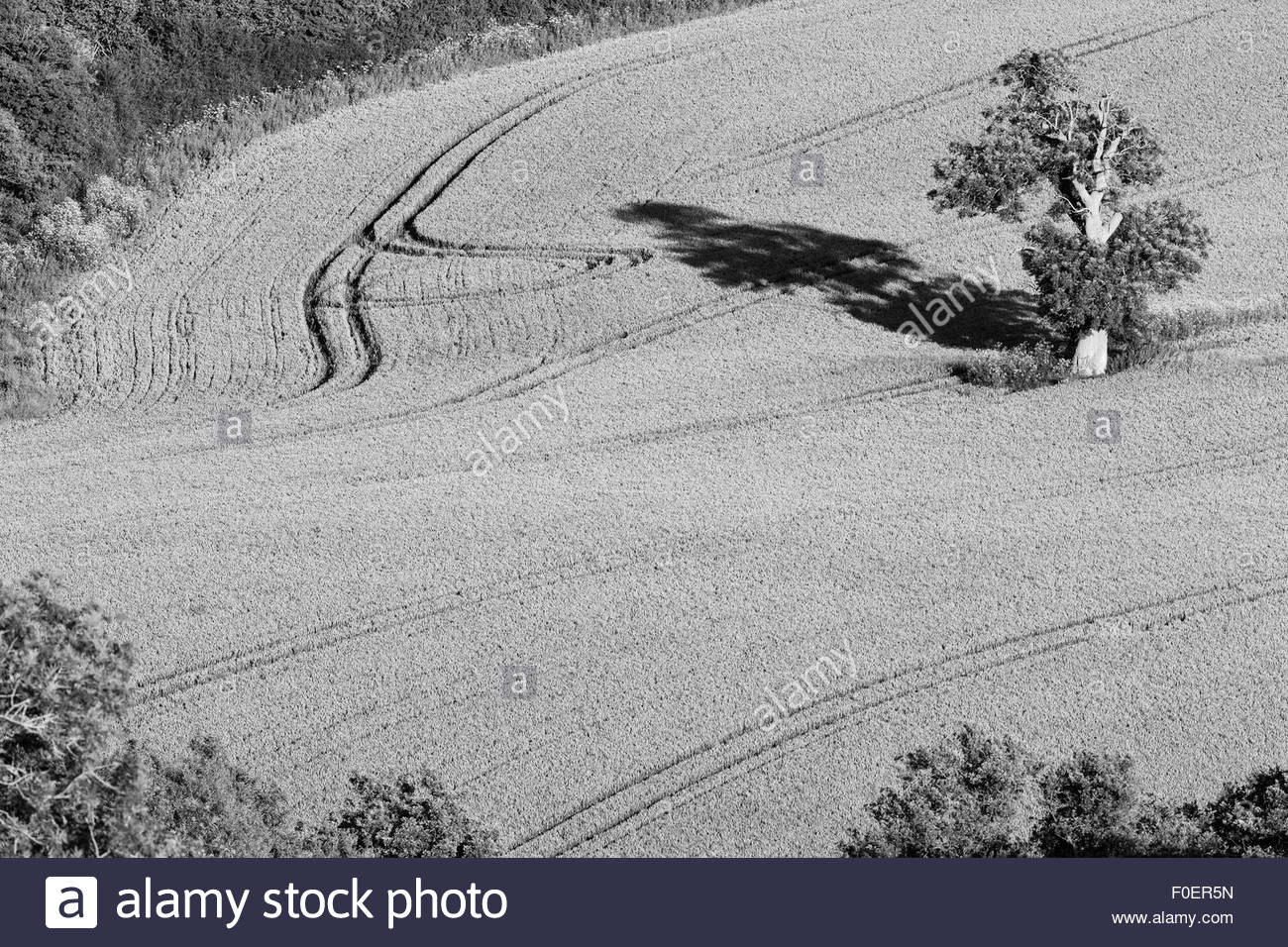 A view of a lone tree in a field of wheat. - Stock Image