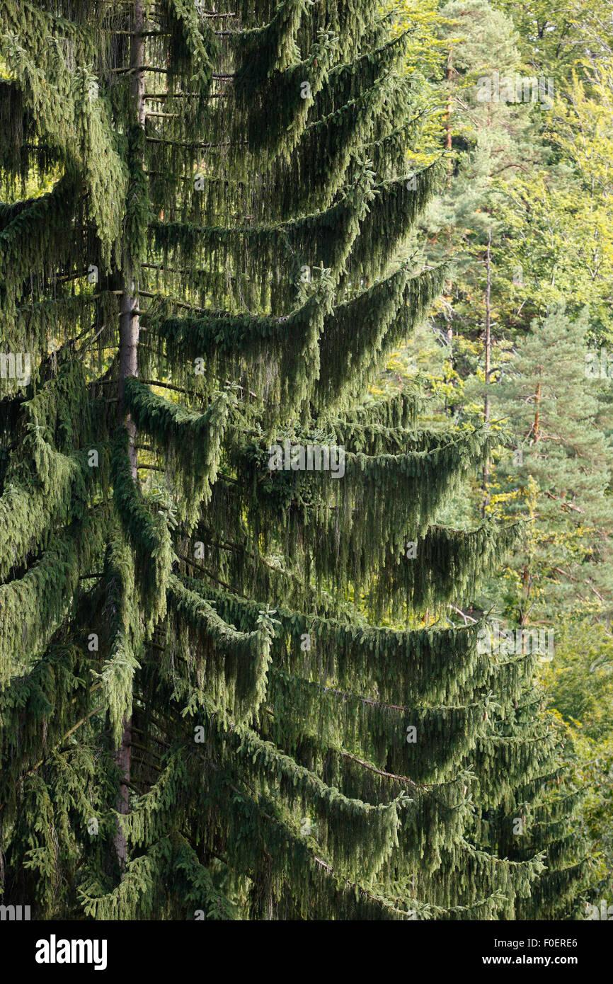 Norway spruce tree (Picea abies) in forest, Ceske Svycarsko / Bohemian Switzerland National Park, Czech Republic, - Stock Image