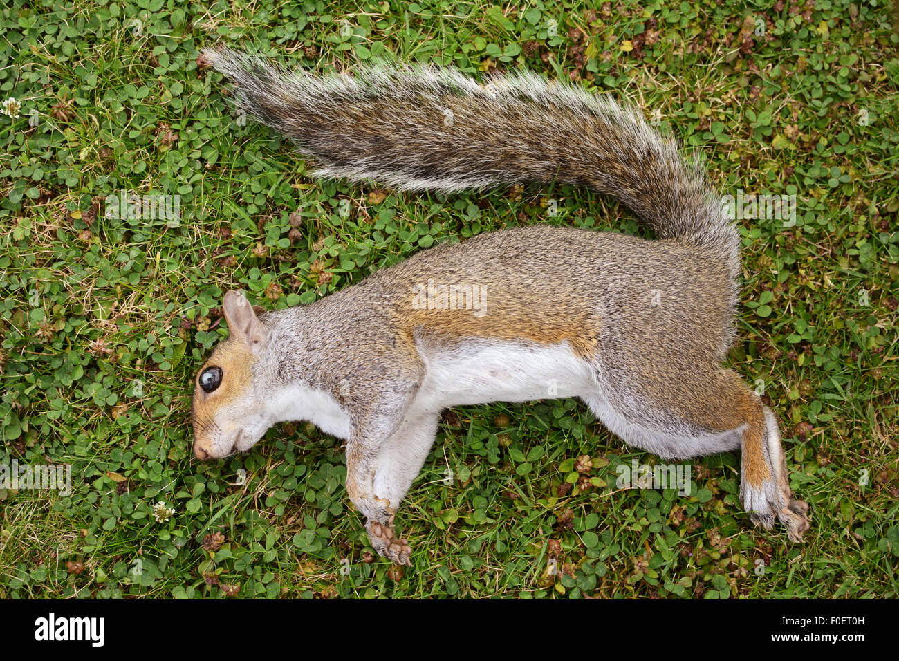 Dead female squirrel with a damaged eye, lying on green grass - Stock Image