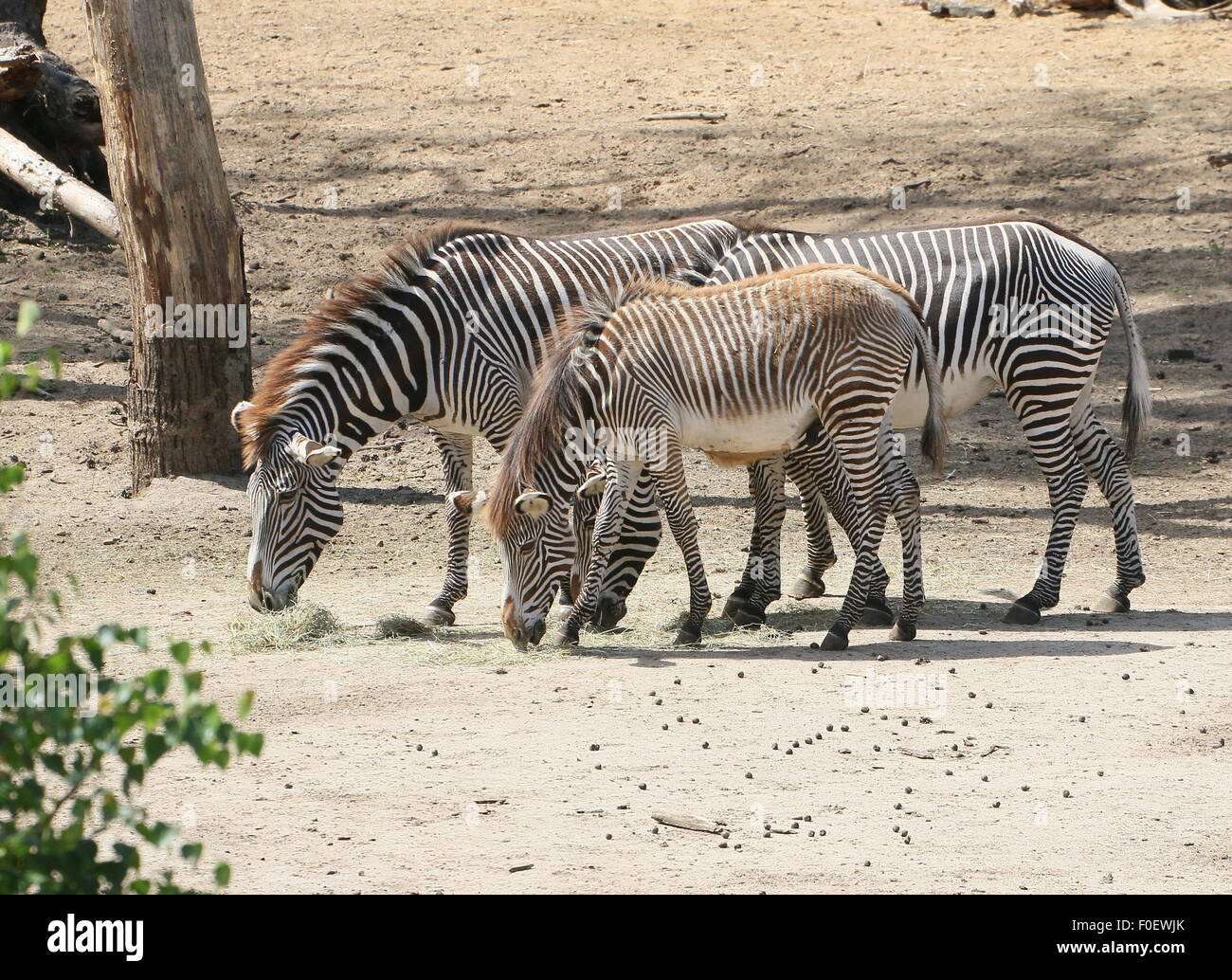 Three grazing East African Grévy's zebras or Imerial zebras (Equus grevyi), two mature animals and one foal Stock Photo