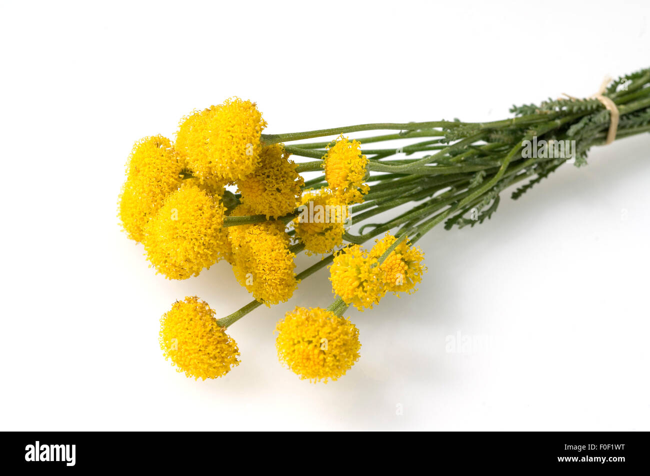Santolina chamaecyparissus Heiligenkraut Lemon Fizz