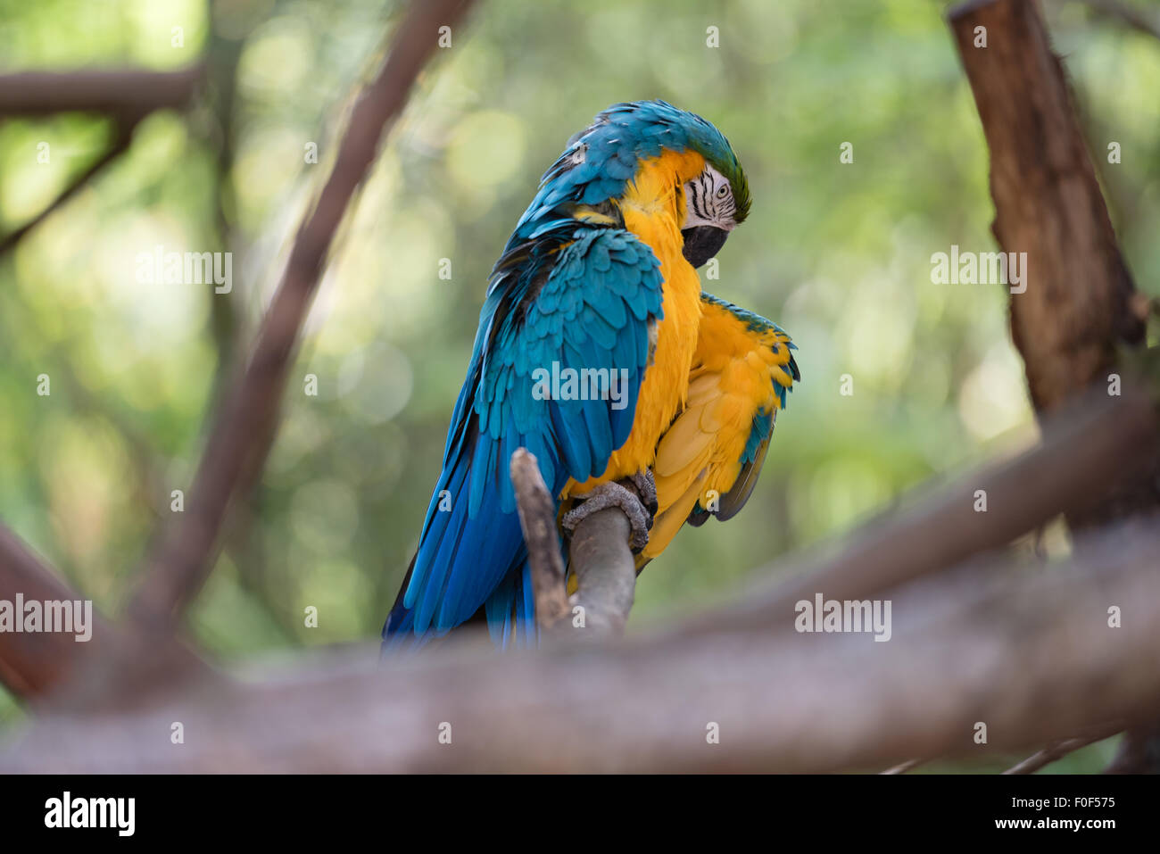 A colorful Macaw sitting on a branch surrounded by trees lifting its wing. - Stock Image