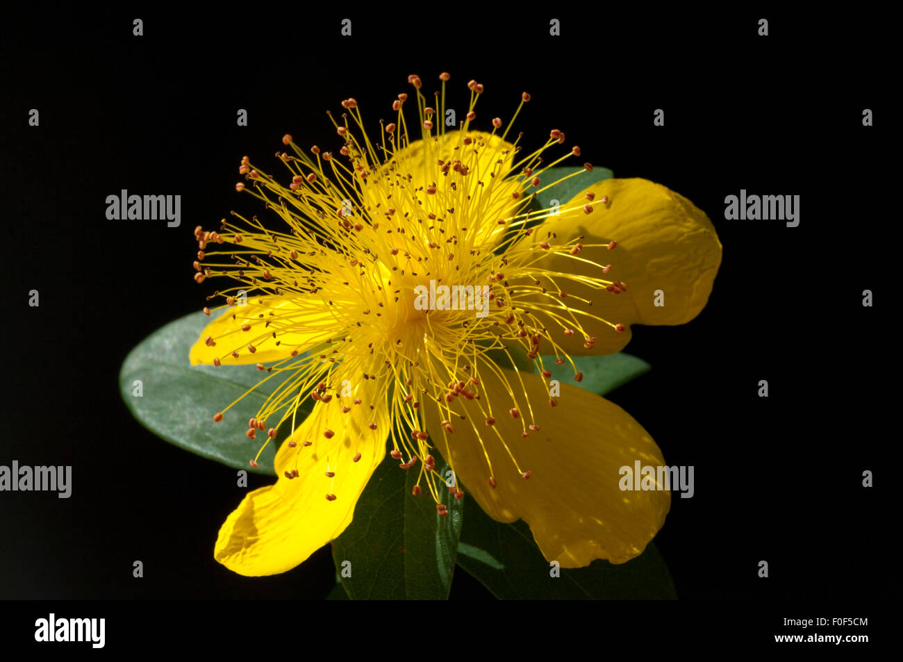 Johanniskraut, Hypericum, calycinum, Kelchartiges, - Stock Image
