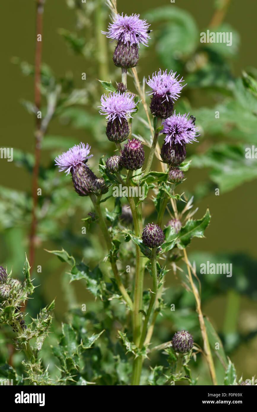 Creeping thistle, Cirsium arvense, flowers, Berkshire, July - Stock Image