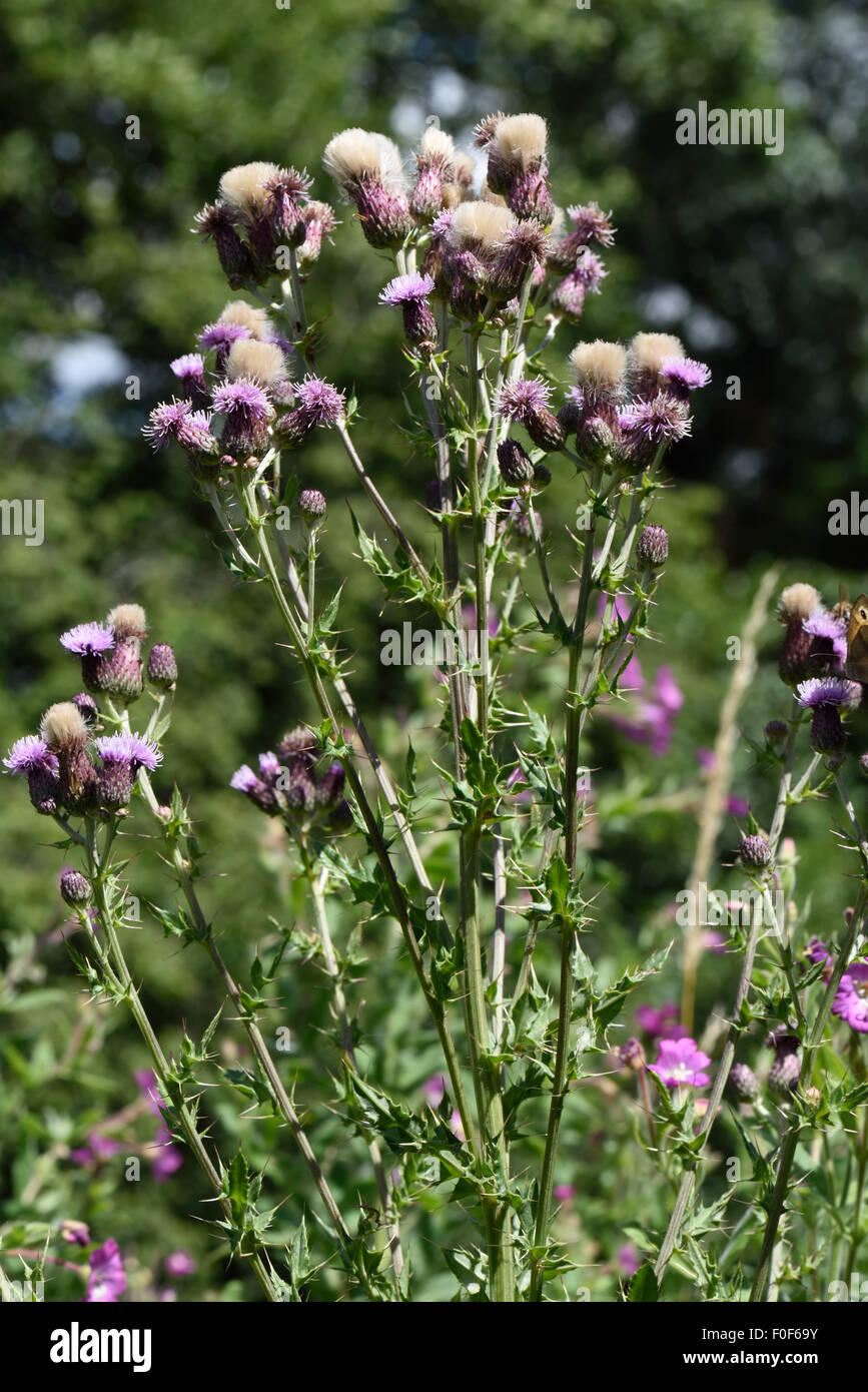 Creeping thistle, Cirsium arvense, flowers and thistledown seeds, Berkshire, July - Stock Image