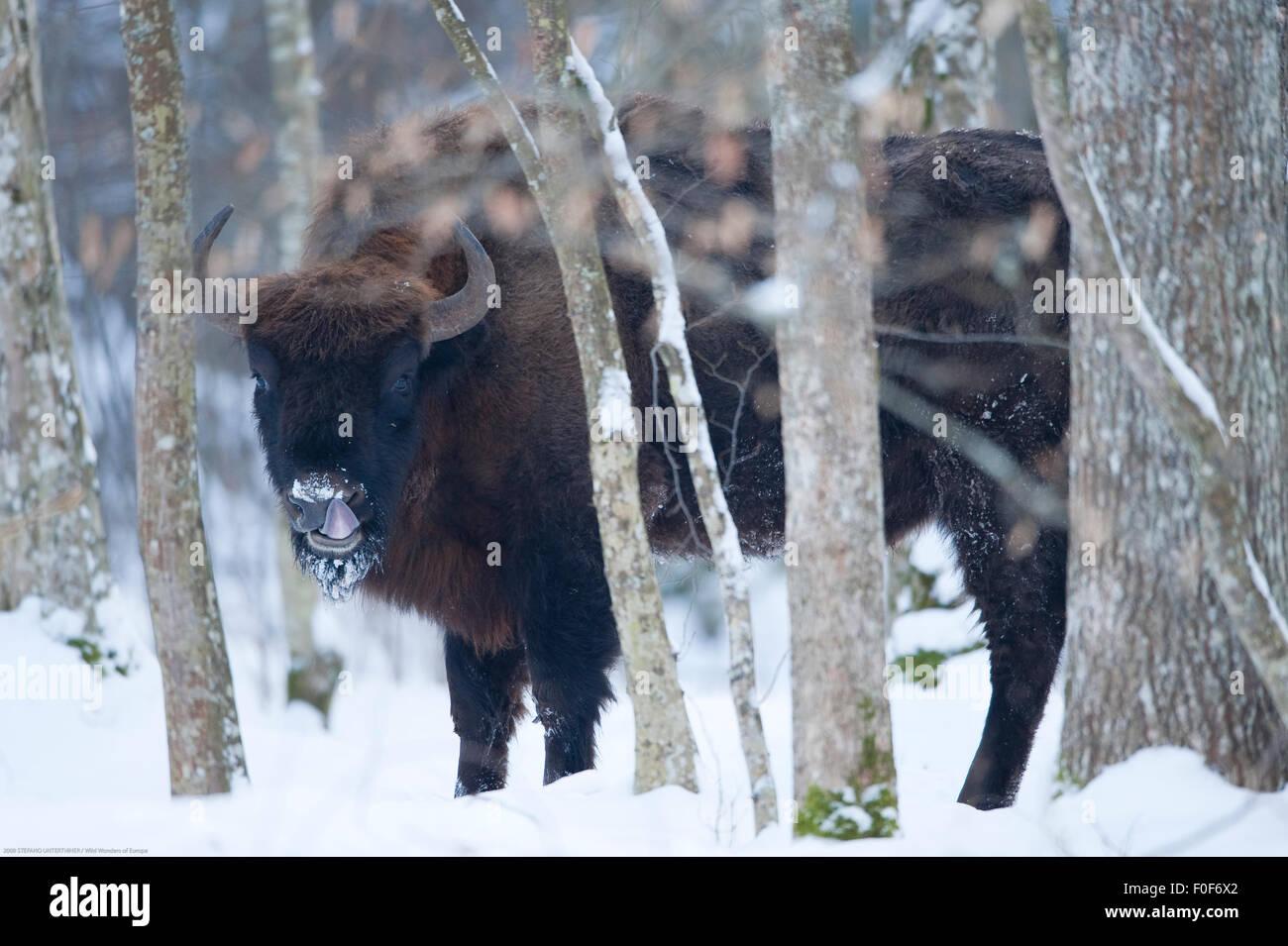 European bison (Bison bonasus) licking nose, Bialowieza NP, Poland, February 2009 - Stock Image
