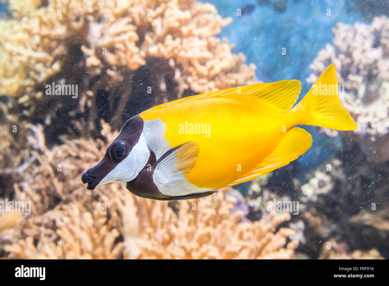 Foxface & Rabbitfish found in a shallow lagoons, have small, hare-like mouths, large dark eyes and a quiet temperament. - Stock Image