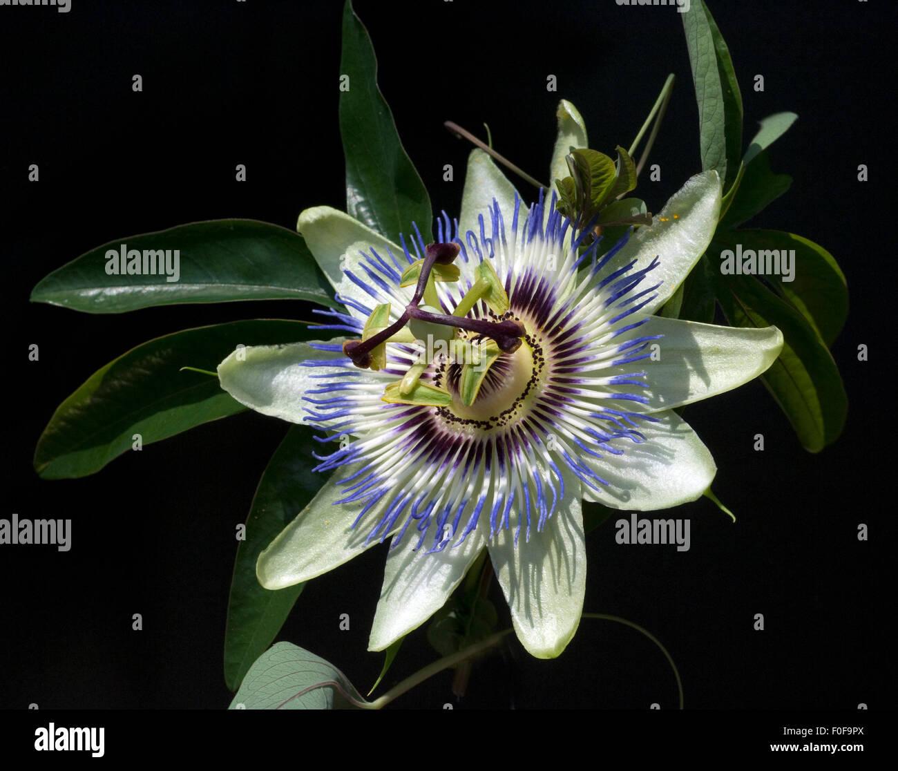 Passionsblume; Passiflora, caerulea; - Stock Image