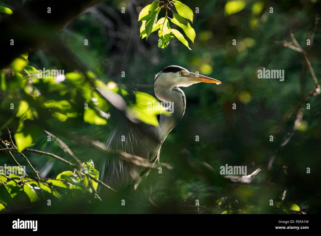 Grey heron (Ardea cinerea) hidden in vegetation - Stock Image