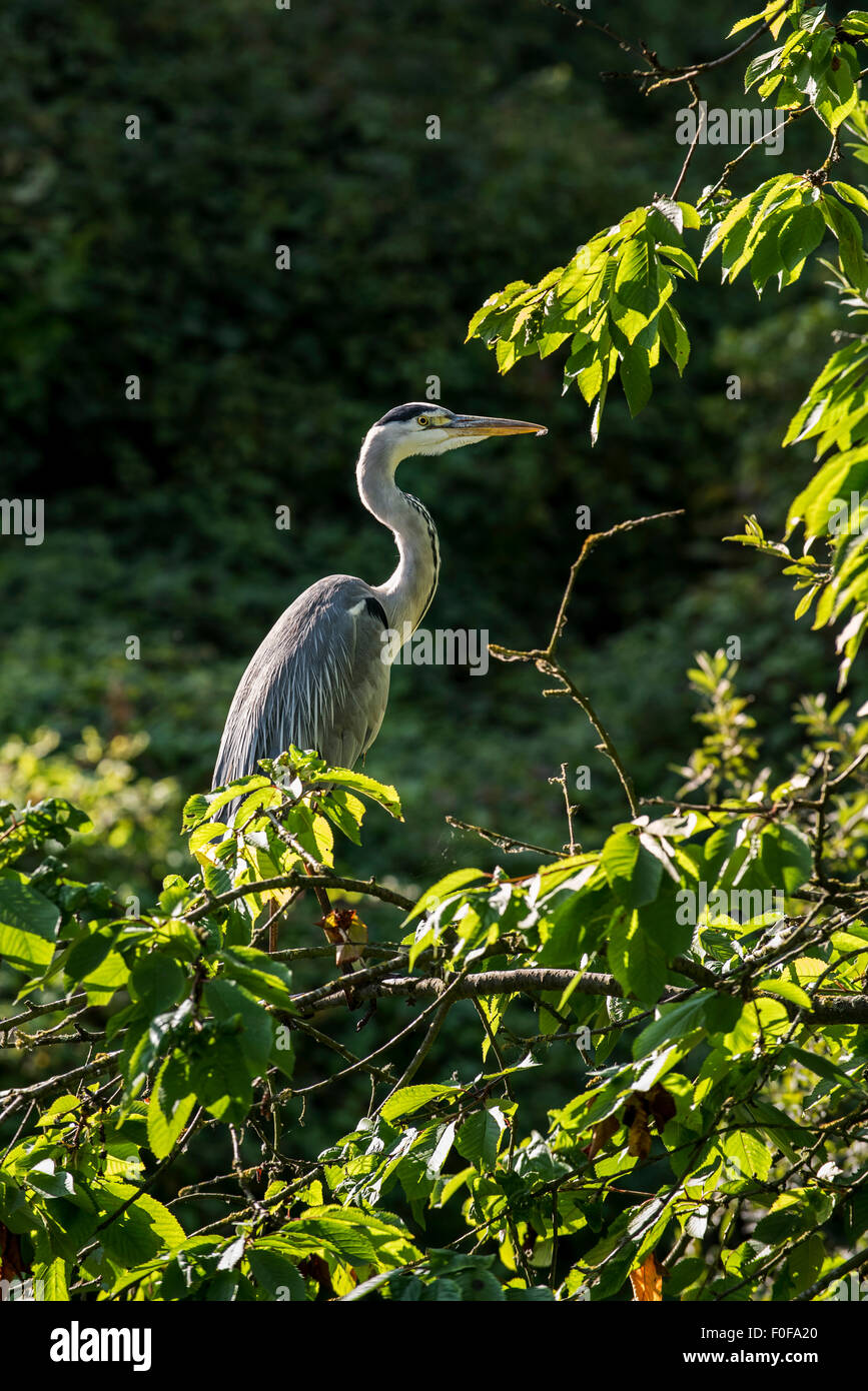 Grey heron (Ardea cinerea) perched in tree - Stock Image