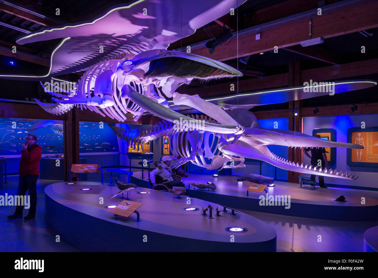 Exhibition of whale skeletons at Ecomare, centre for nature and marine life on Texel, The Netherlands - Stock Image