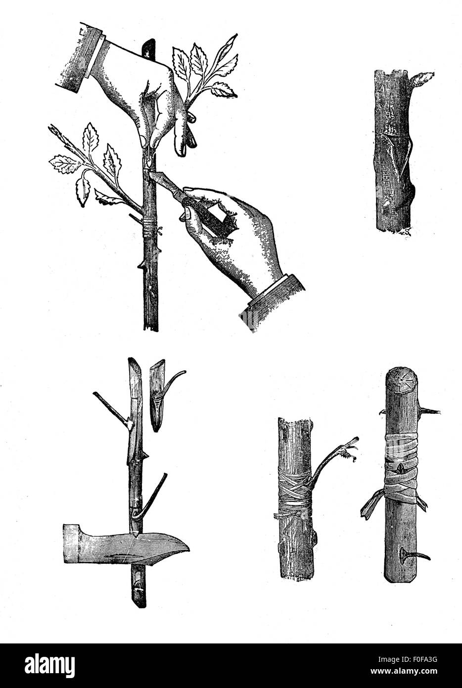 Horticulture engraving - grafting techniques.  Grafting  is a horticultural technique whereby tissues from one plant - Stock Image