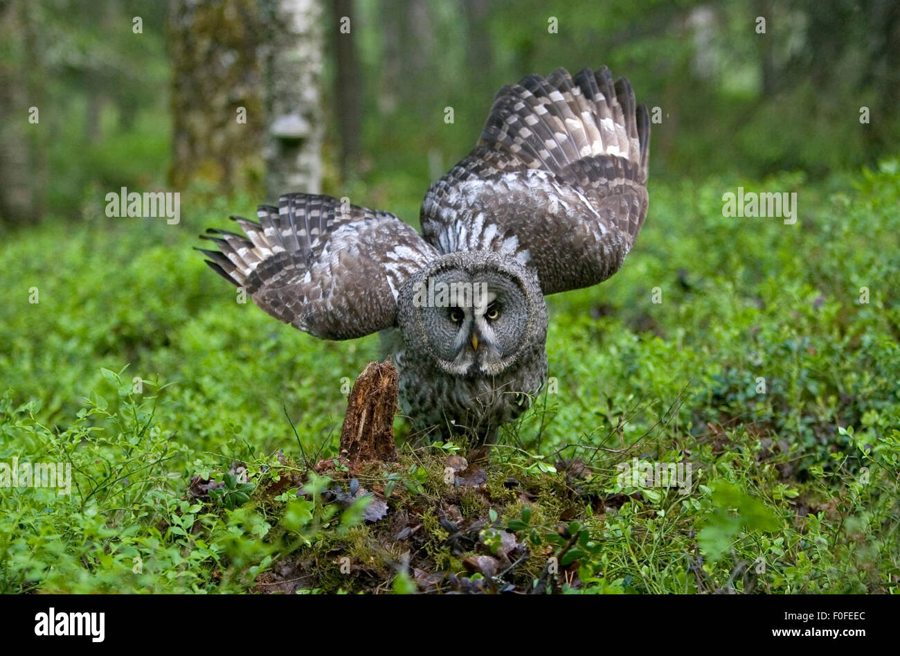 Great grey owl (Strix nebulosa) on ground with wings partially open, Northern Oulu, Finland, June 2008 - Stock Image