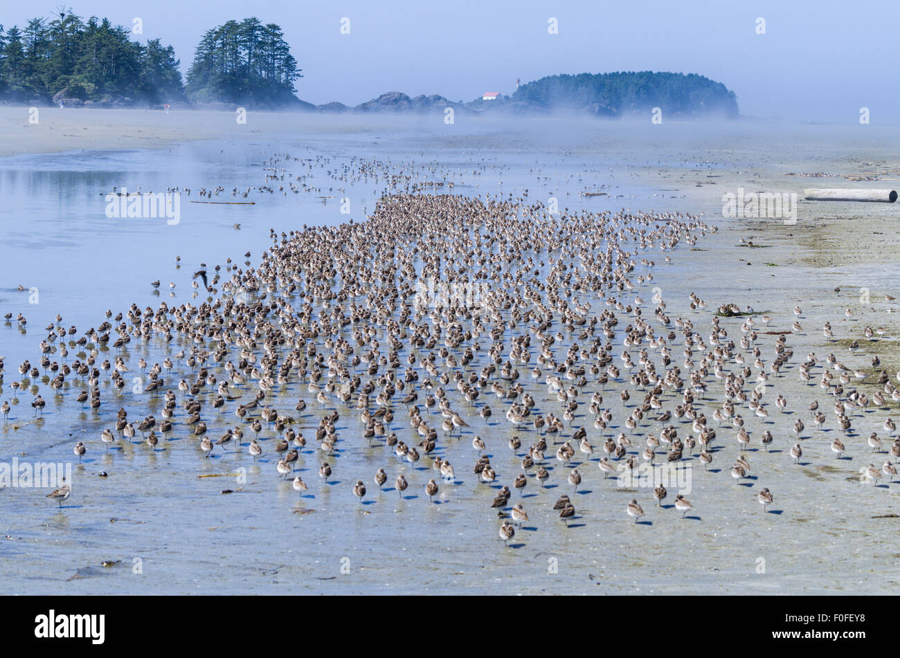 Flock of sandpipers on Chesterman Beach Tofino, Vancouver Island British Columbia Canada - Stock Image