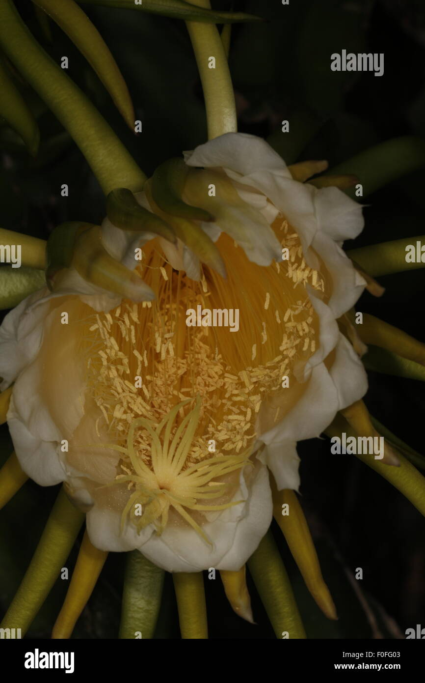Night blooming cereus,  Hylocereus undatus, also known as the Queen of the Night - Stock Image