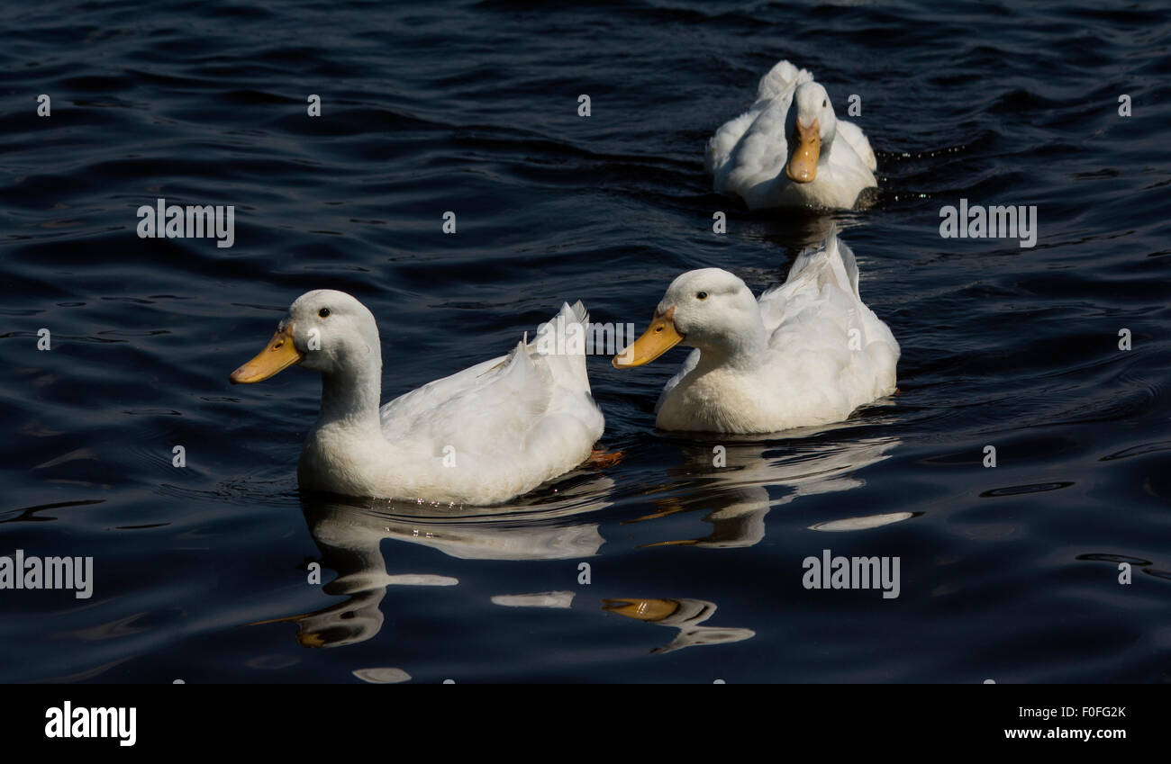 Indian Runner Ducks - Stock Image