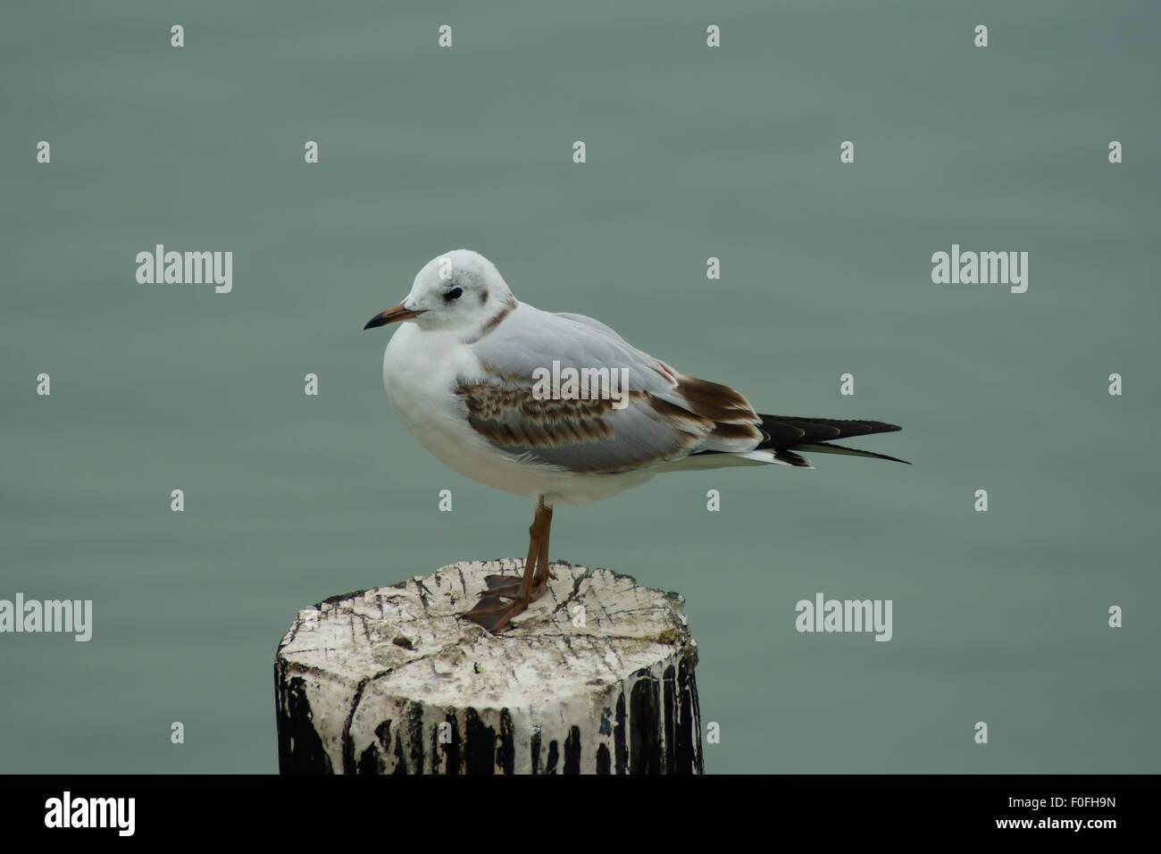 Heron Gull Stock Photos & Heron Gull Stock Images - Alamy