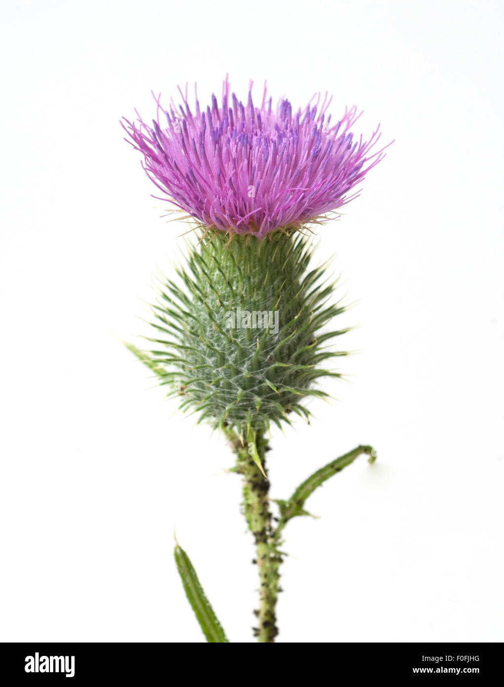 Gemeine, Kratzdistel, Cirsium vulgare, Stock Photo