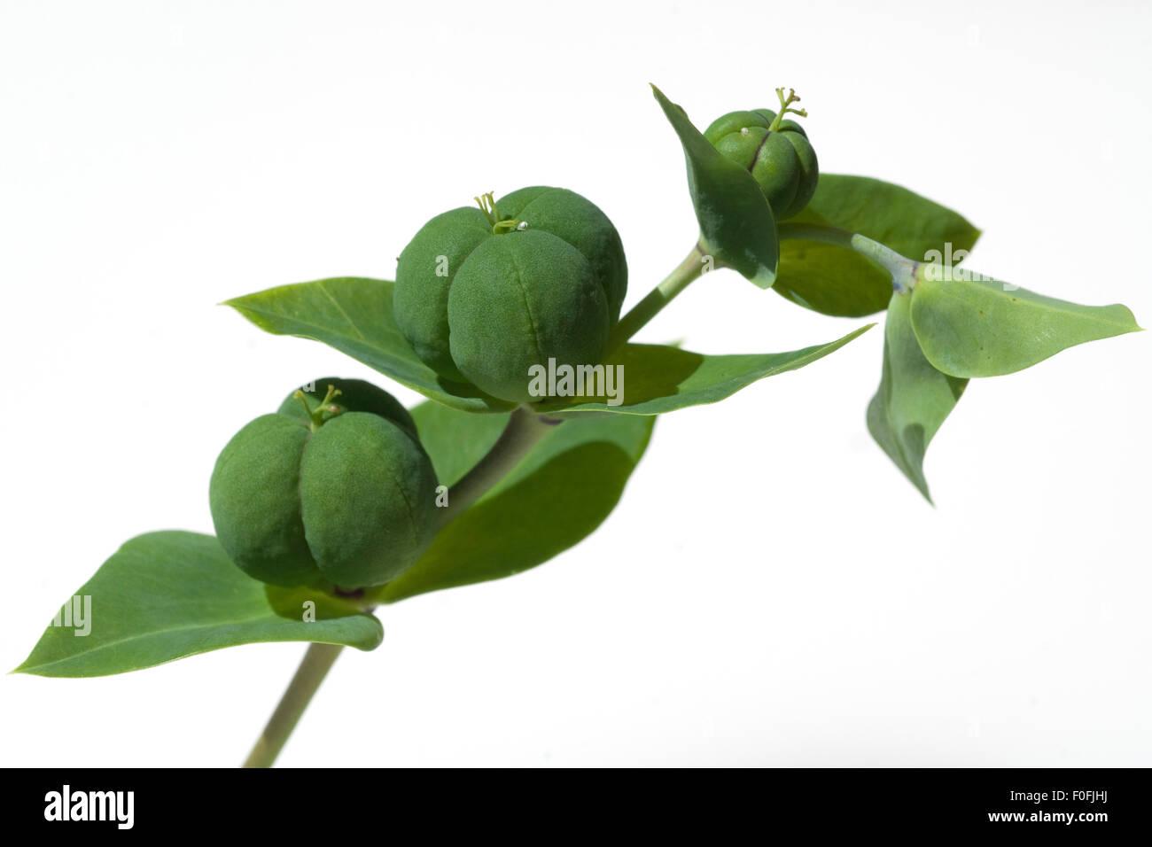 Kreuzblaettrige, Wolfsmilch; Wolfsmilch; Euphorbia; lathyrus; - Stock Image