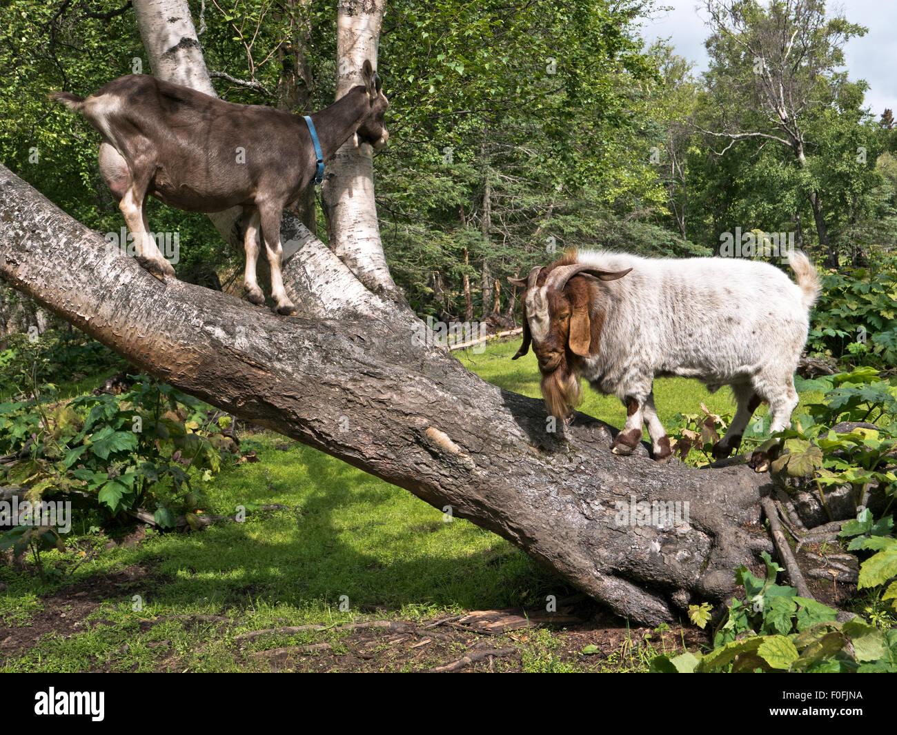 Female & boer goats communicating on leaning birch tree trunk. - Stock Image