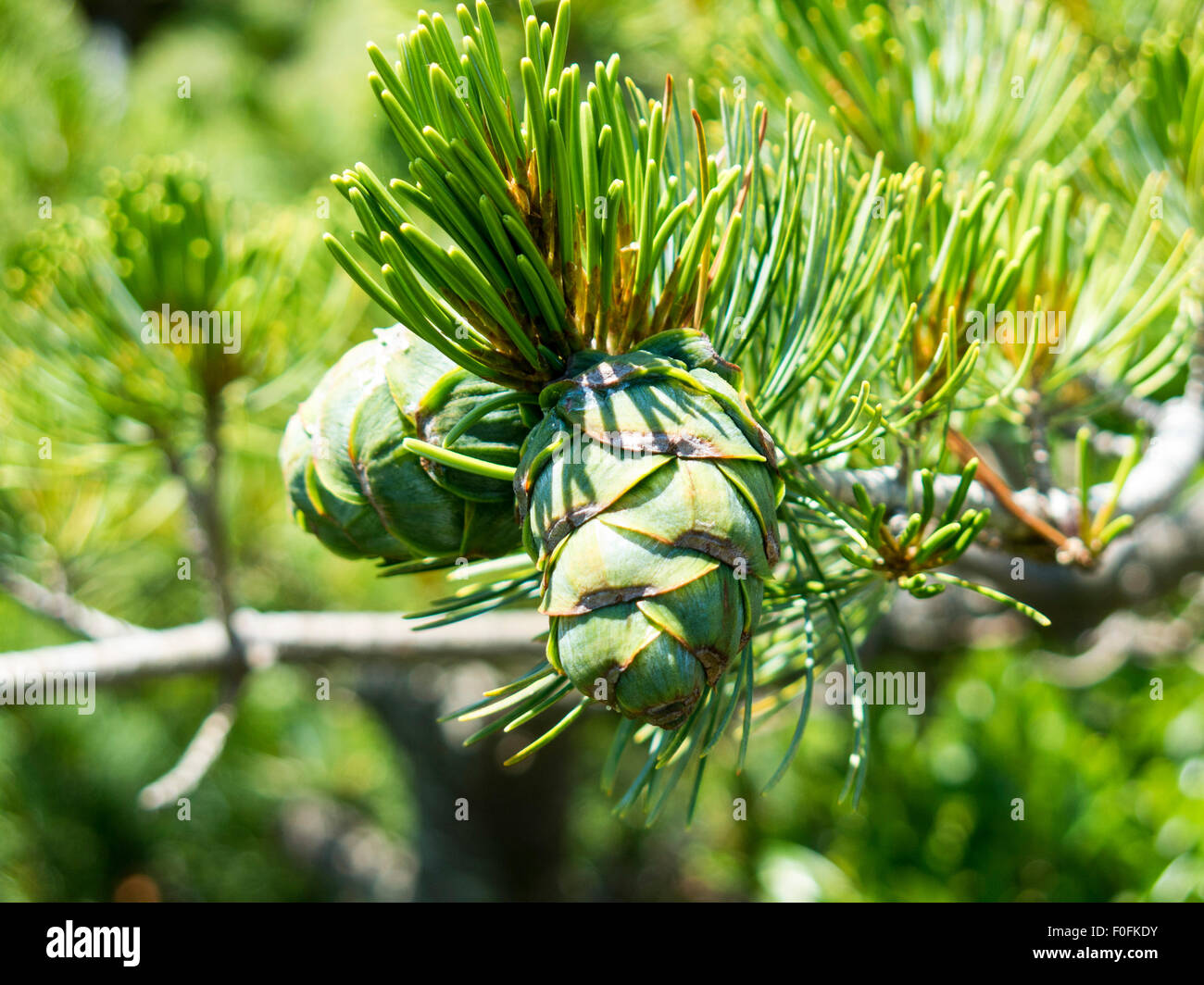 Young cones on evergreen conifer - Stock Image