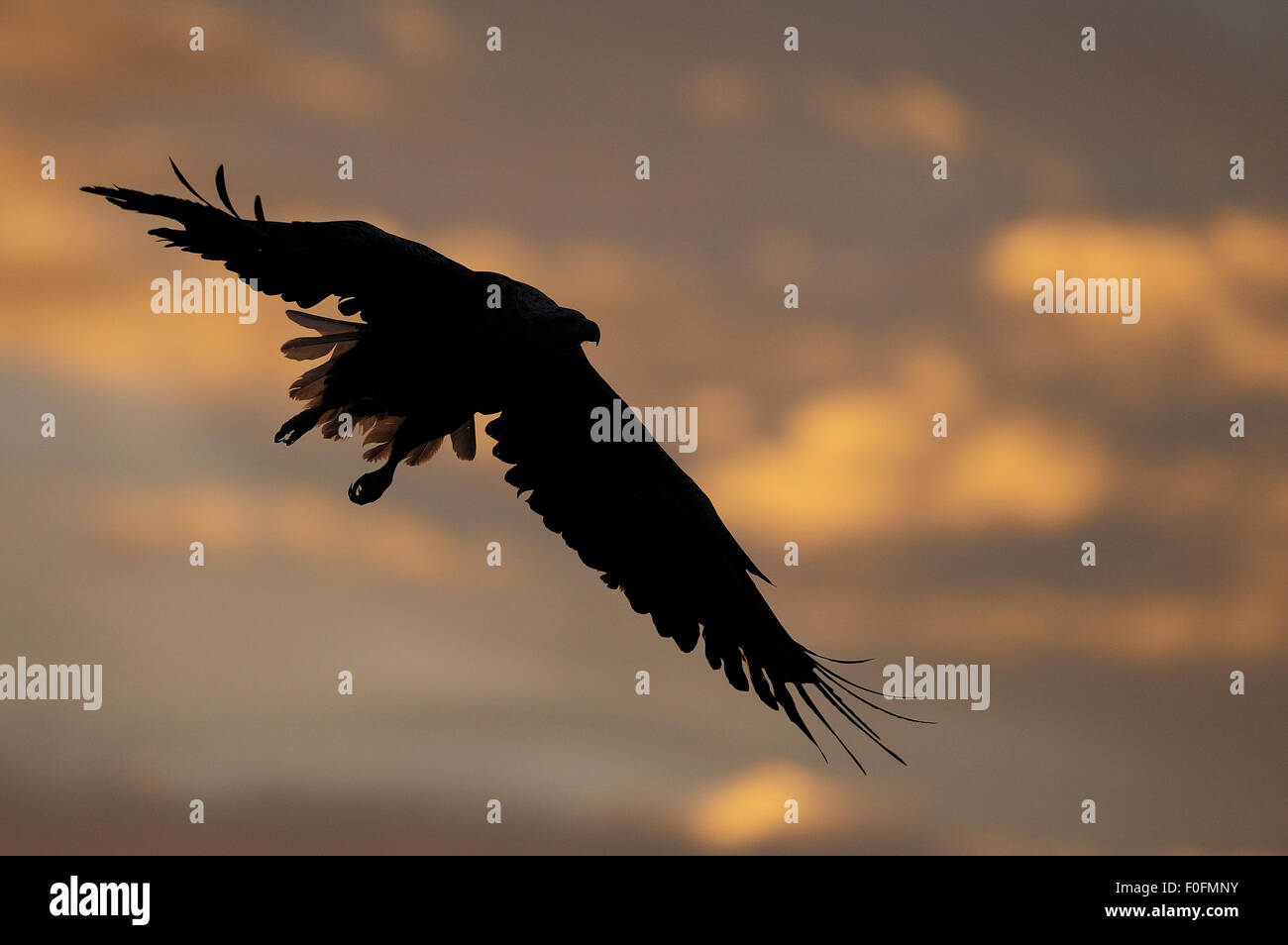 White tailed sea eagle (Haliaeetus albicilla) in flight, silhouetted, Flatanger, Nord Trøndelag, Norway, August 2008 Stock Photo