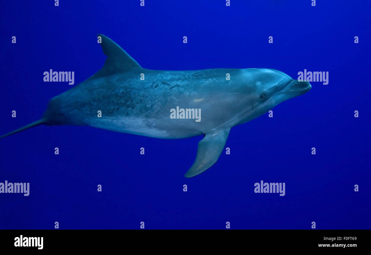 YOUNG BOTTLE NOSE DOLPHIN SWIMMING ALONE IN BLUE WATER - Stock Image