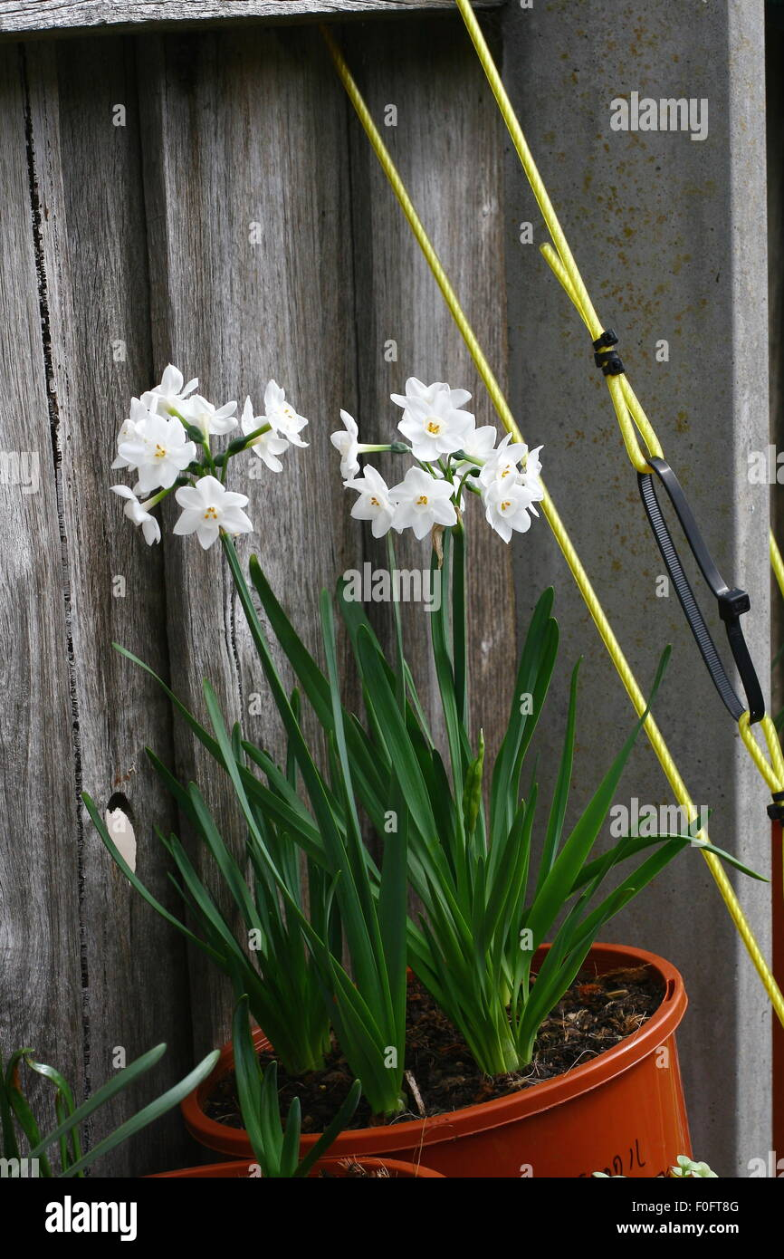 White Jonquils in a pot against wooden fence Stock Photo
