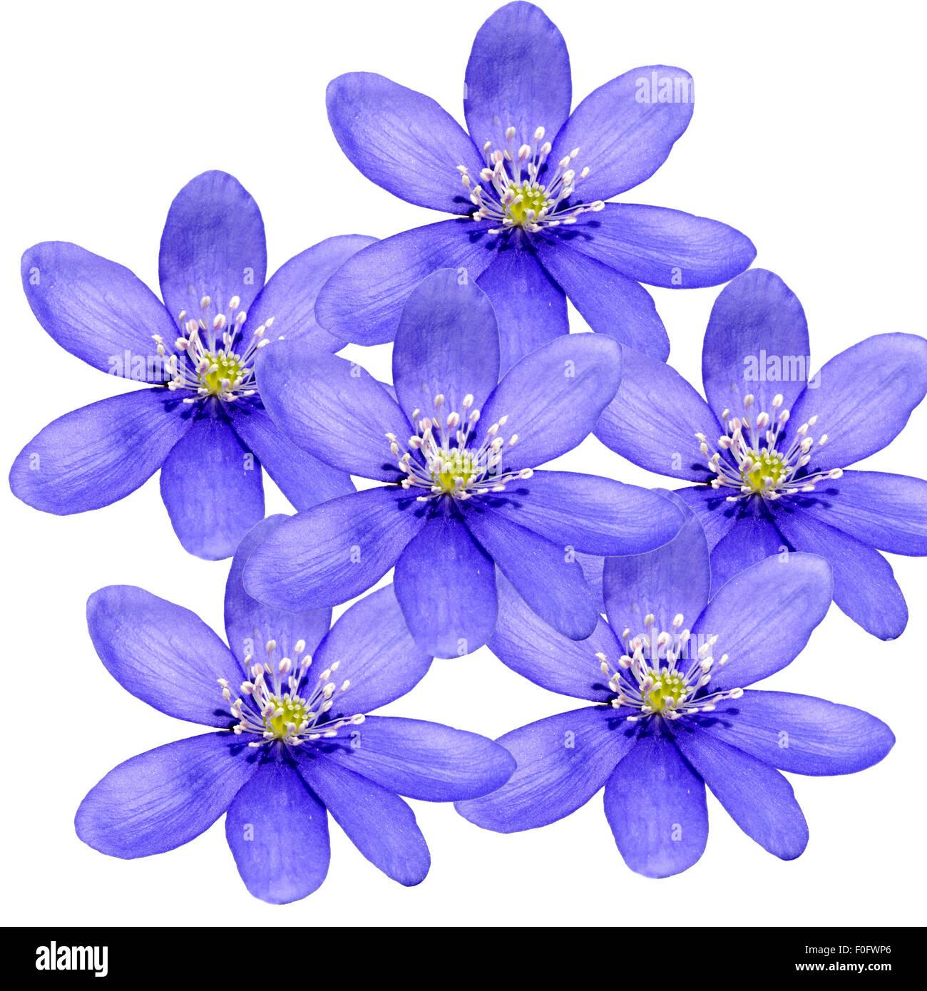 Leberbluemchen, Hepatica, nobilis, Winterblueher, Anemone hepatica, blaue blueten, blau, Blume des Jahres 2013, - Stock Photo