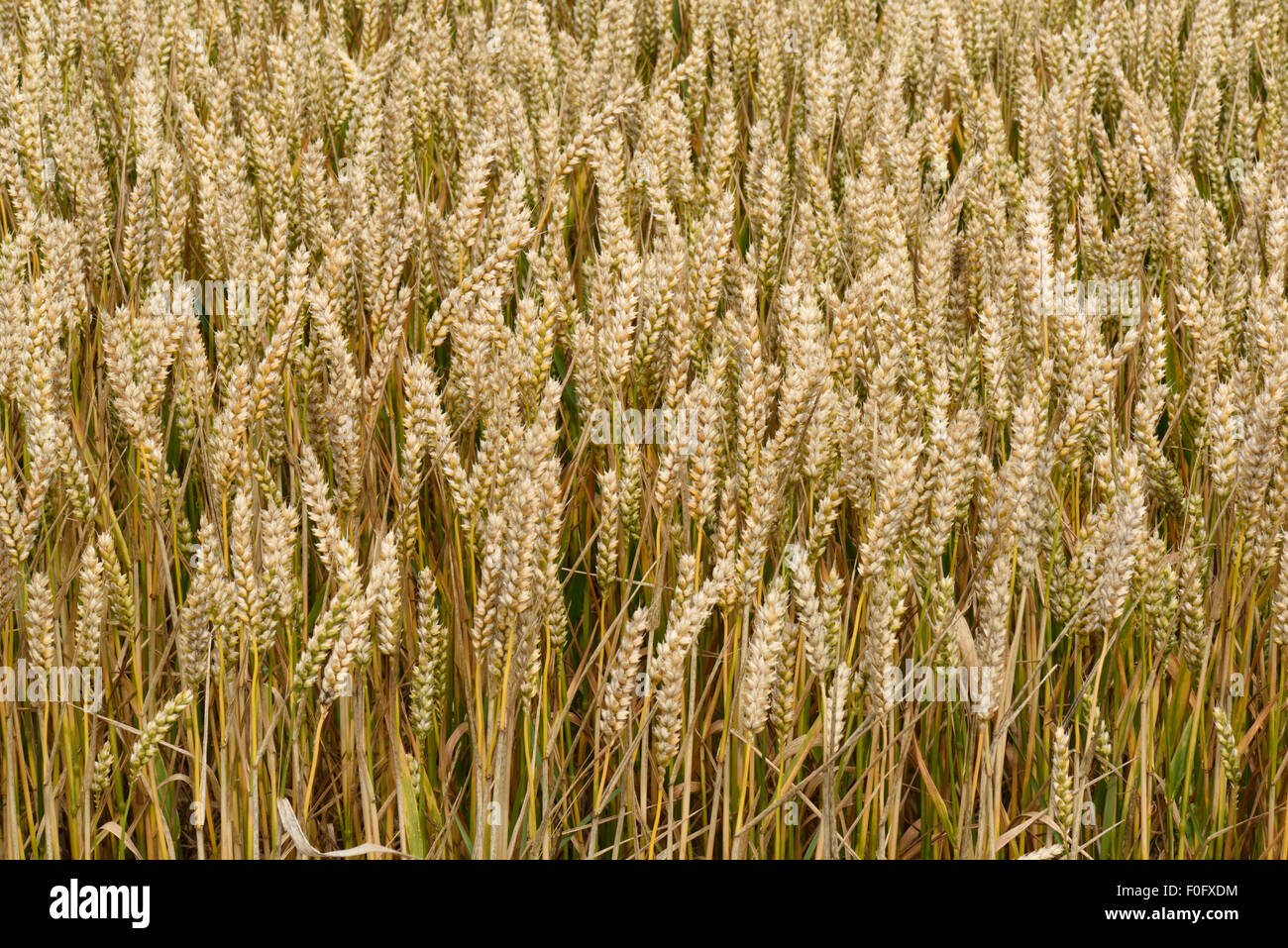 Ears and plants of winter wheat crop ripening, Berkshire, August - Stock Image