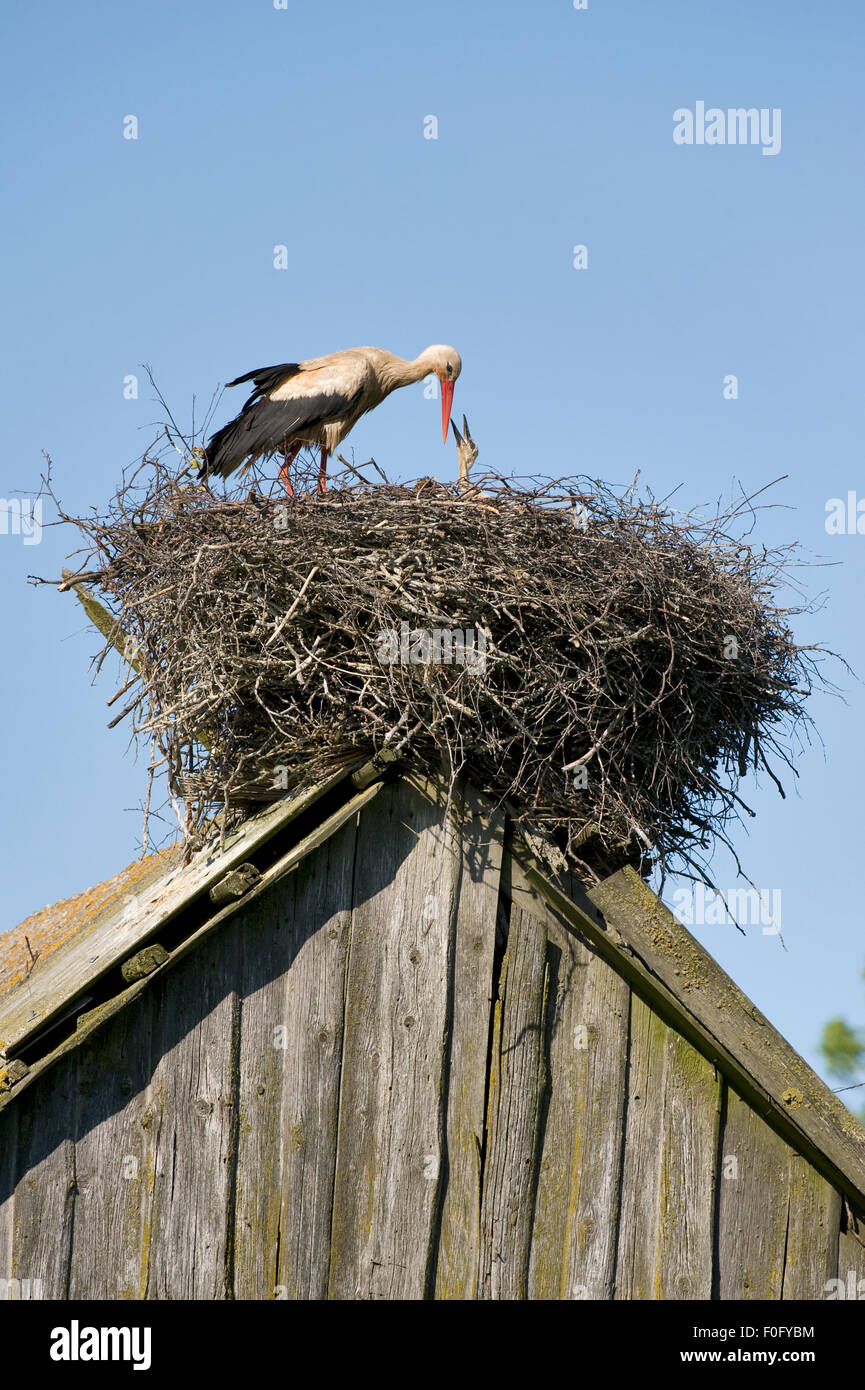 White stork (Ciconia ciconia) adult feeding chick at nest on old barn, Nemunas Regional Park, Lithuania, June 2009 Stock Photo