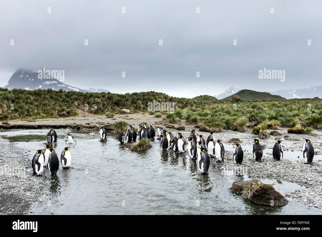 King penguins at colony Salisbury Plain South Georgia - Stock Image