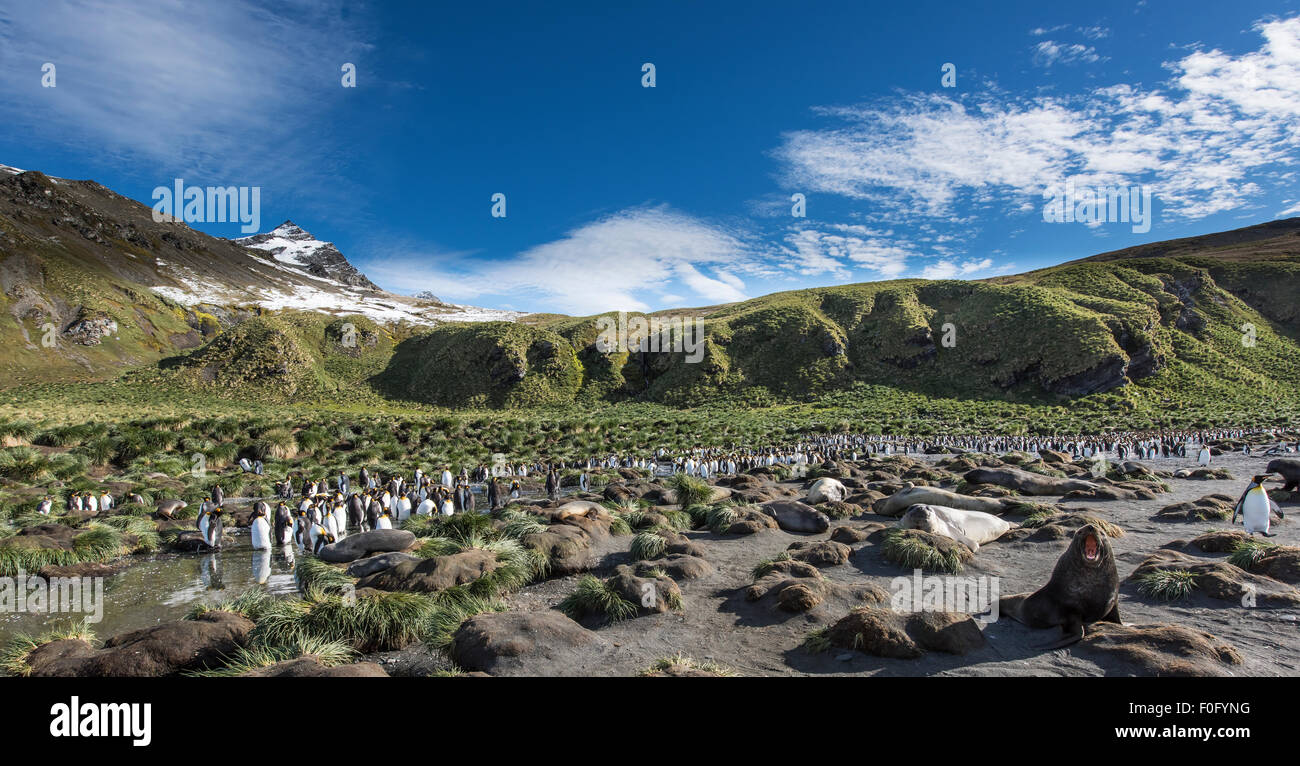 King penguins at colony Gold Harbour South Georgia - Stock Image