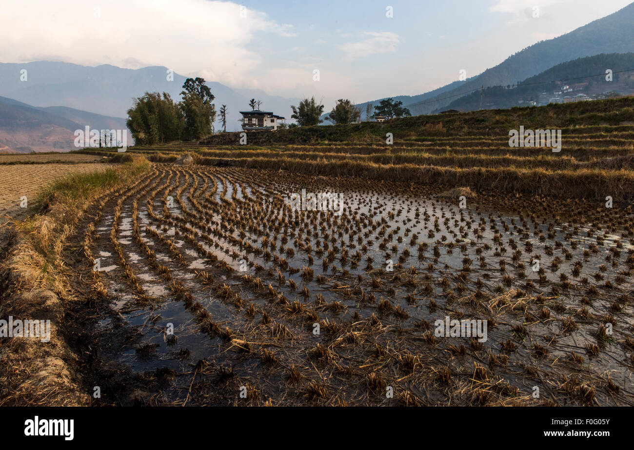 Rice paddies in the countryside Bhutan - Stock Image