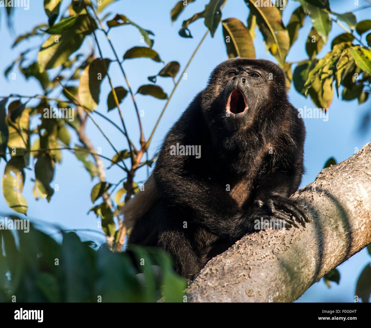 Adult mantled howler monkey howling on tree Monteverde Costa Rica - Stock Image