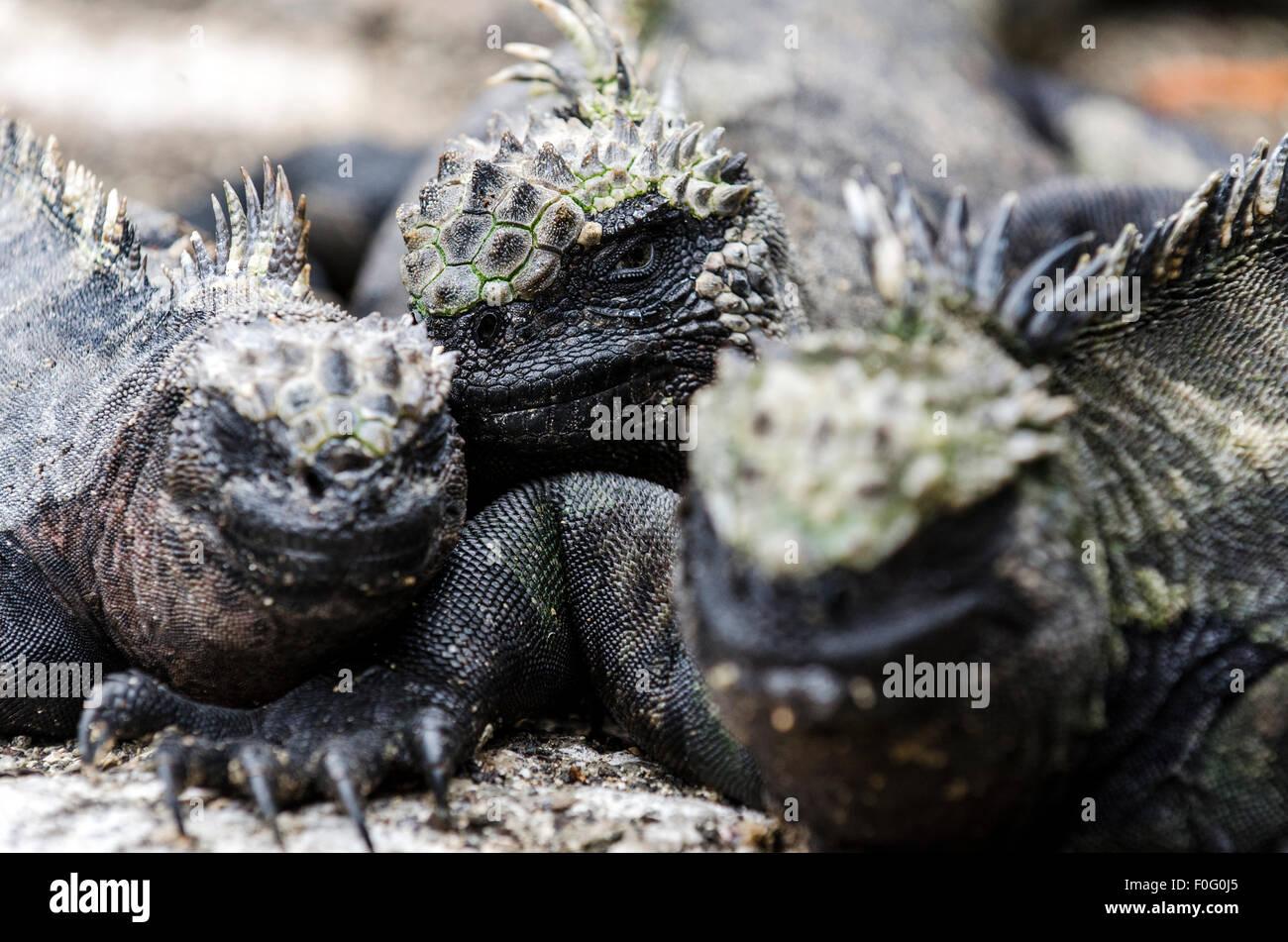Galapagos marine iguanas close up Isabela Galapagos islands Ecuador - Stock Image