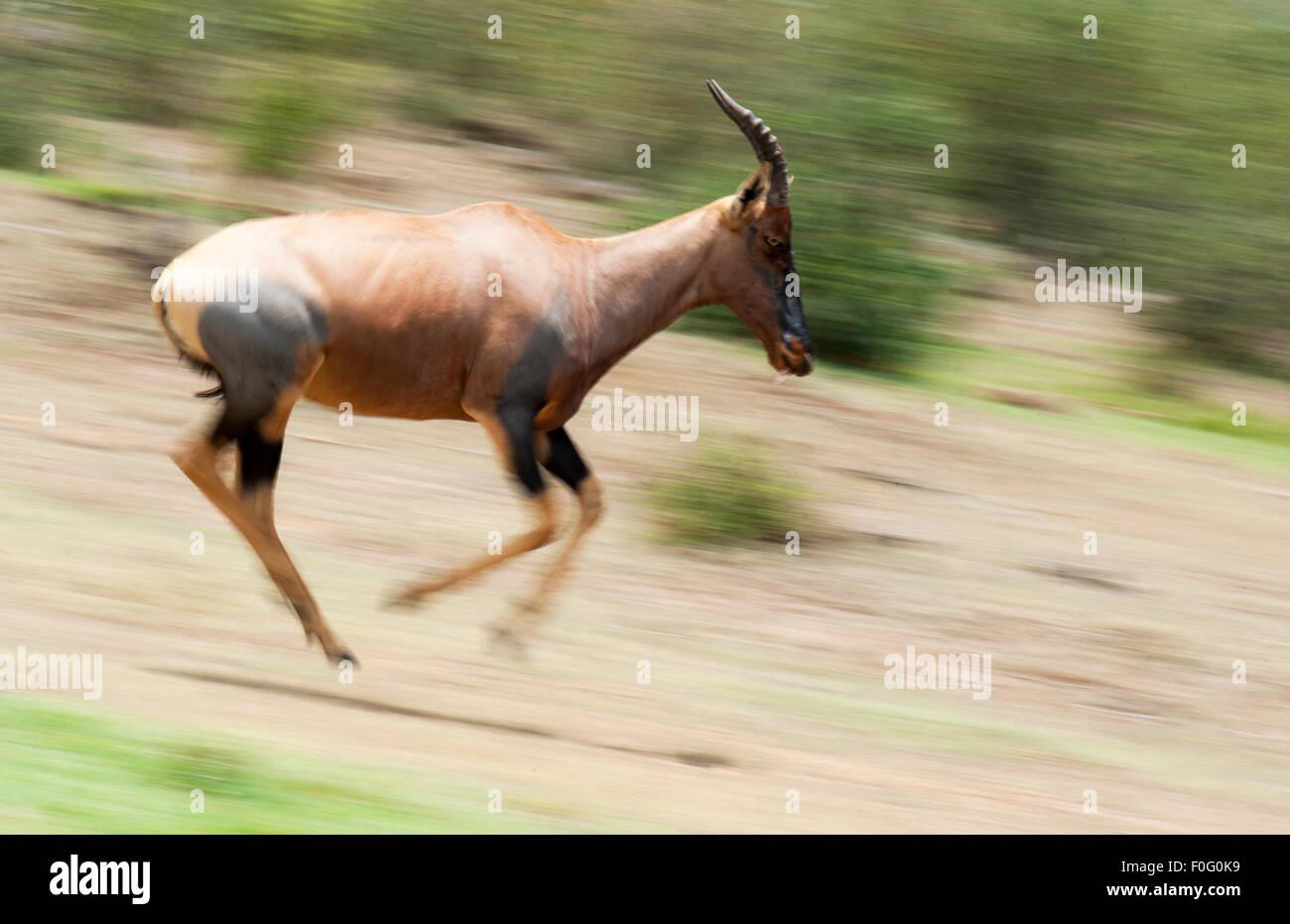 Topi running at full speed Mara Naboisho conservancy Kenya Africa - Stock Image