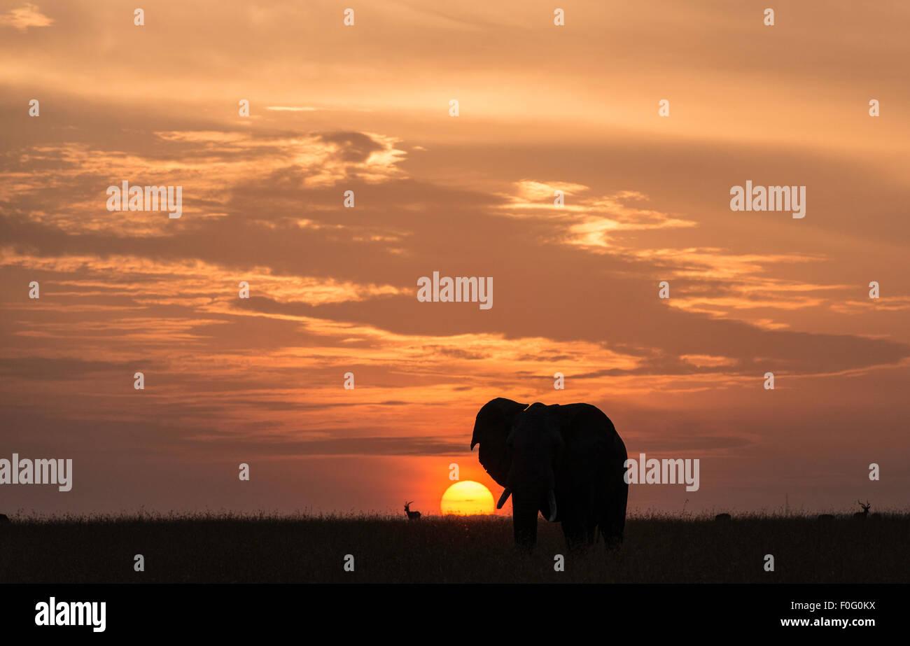Adult African elephant at dawn Mara North conservancy Kenya Africa - Stock Image