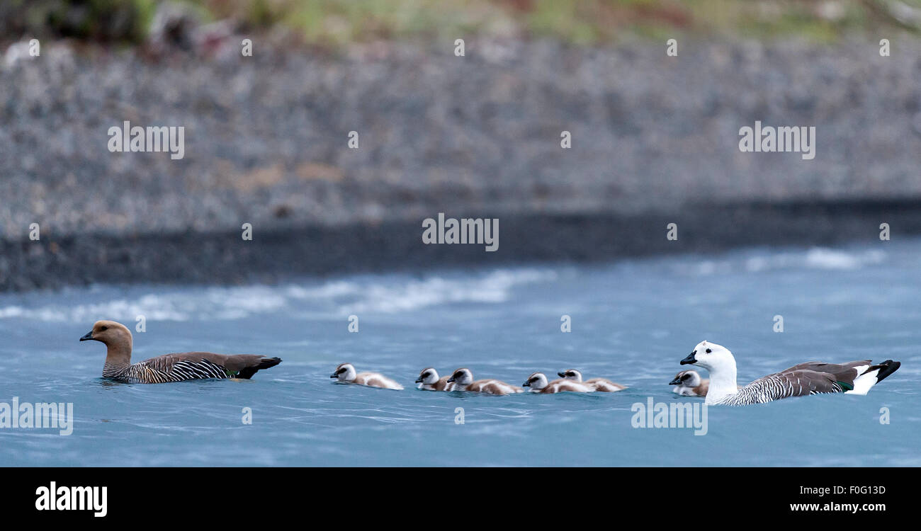 Adult Upland or Magellan geese with chicks in the water Torres del Paine National Park Chilean Patagonia Chile - Stock Image